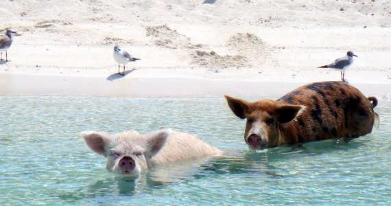 Pig Beach Bahamy