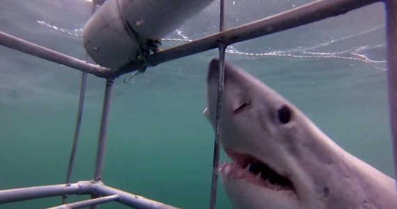 Žralok bílý - potápění v kleci
